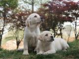 桂林出售拉布拉多犬,疫苗驱虫已做,可