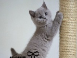 英国短毛猫英短蓝猫幼猫纯种猫宠物猫活体幼猫猫咪