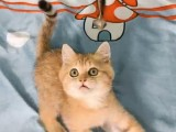 金银渐层,布偶猫