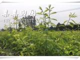 重庆奉节2年矮化青脆李苗,晚熟茂县青脆李树苗供应,李子苗厂家