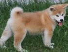 郑州纯种秋田价格 郑州哪里能买到纯种秋田犬
