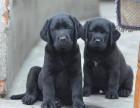 自家养的双血统拉布拉多一窝小狗待售 欢迎上门挑选拉布拉多