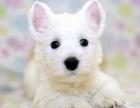 正规犬舍繁殖 诚信交易 纯种西高地犬 可签协议