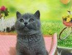 橘眼大包子脸英短蓝猫 骨架好毛色亮