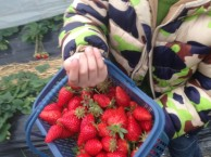 上海南汇农家乐 冬季旅游推荐 采草莓吃土菜 钓大鱼自助烧烤