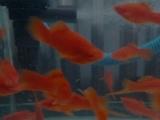 长期出售,大红色热带鱼,观赏鱼红剑