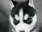 康乐犬业出售阳光帅气的纯种哈士奇幼犬