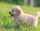 纯种金毛寻回猎犬 骨量大 毛质好 活泼可爱 保证健