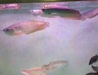 出售银龙鱼价格便宜