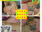 沙皮犬幼犬出售血统纯正健康保证皱皮沙皮狗可上门看狗