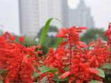 北京一串红供货商-哪里能买到热销一串红