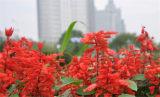 要买优惠的一串红,新大洲花卉苗木是不二选择-青州一串红