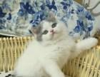 深圳 英短 猫多少钱 猫舍出售
