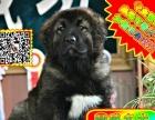 纯种 高加索犬 签三年质保 三针做齐 多窝可选 可送货上门