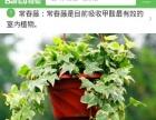 专注空气净化的绿植