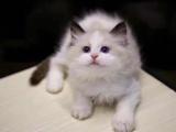家庭繁殖英短猫咪
