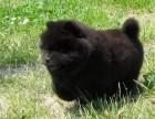 正规犬舍出售精品松狮幼犬包健康签协议送用品