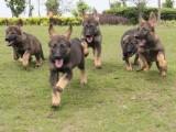 惠州本地 出售马犬幼犬出售 本地狗现货挑选 健康保障