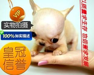 纯种健康吉娃娃幼犬 苹果头 金鱼眼