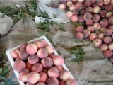 北京毛桃种植基地在那 山东油桃价格便宜\今日大棚油桃价格