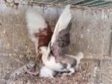 信鸽观赏鸡观赏鸽黄金甲火凤凰