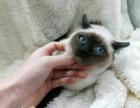 : 纯种暹罗猫 自家家养繁殖暹罗猫 蓝眼猫咪暹罗猫