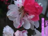 观赏桃花树苗红叶碧桃树苗品种