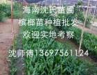 海南陵水乐东市县本地槟榔苗大量出售 欢迎来园考察订苗