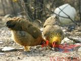 常州优质的温氏生鲜熟食提供商安庆家禽批发哪家好