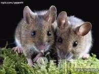 广州灭鼠公司 上门灭老鼠 家庭灭鼠 专业灭鼠