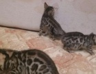 自家繁殖孟加拉豹猫3500元