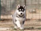 哪里有卖哈士奇犬 哈士奇多少钱一只 北京出售哈士奇犬