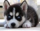 信誉服务 高端品质保障 纯种哈士奇犬 常年有货