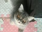 灰白色加菲猫找新主人
