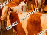 张北县肉牛犊价格批发销售,肉牛销售历史悠久