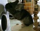 可爱的龙猫,优价转让