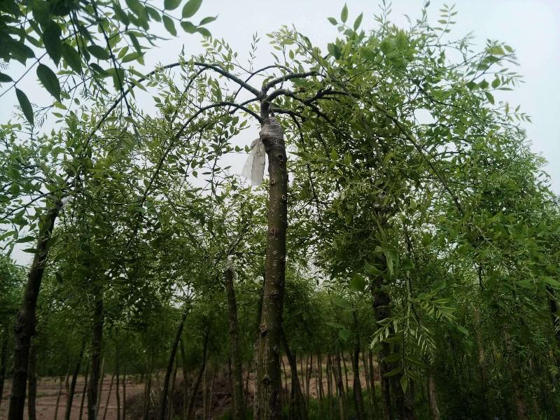 西四旺盛景园林苗木基地