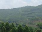 武宣金鸡 960亩山林转让