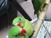 出售亚历山⊙大鹦鹉 和尚鹦鹉 金太阳鹦�镳� 吸蜜鹦鹉 鹩哥