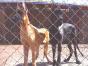 自家大狗生了一窝大丹犬可以上门看狗父母