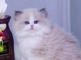 四川成都布偶幼猫出售