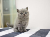 纯正英短优质品种,大包子脸蓝猫出售,疫苗已经做完
