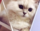 乌鲁木齐哪里有金吉拉猫卖 猫舍直销 健康活泼 包纯种 保养活