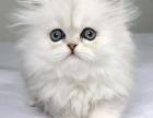 一猫在手 一生牵手 萌萌金吉拉 含泪出售