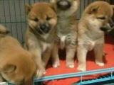 适合家庭饲养柴犬多少钱 要纯一点的