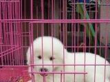毛量超好 大头宽嘴品相一流大白熊幼犬 送货上门