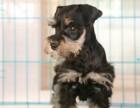 纯种雪纳瑞犬保证 纯种健康 终身质保饲养指导