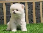 苏州上门看狗 博美幼犬 买狗赠用品 签协议售后有保障