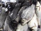 低价批发鲫鱼,鳊鱼,昂刺鱼,桂鱼等等
