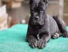 卡斯罗幼犬均有出售 纯种健康有保障